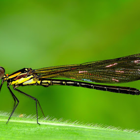 Damselfly by Rudyanto A. Wibisono - Animals Insects & Spiders ( damselfly,  )