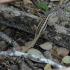 Brown Spiny Lizsard