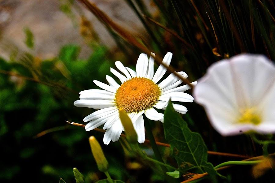 Waiting Daisies by Jordan M Newington - Novices Only Flowers & Plants ( beautiful flower, oregon, daisies, flower, sundialbridge )