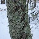 Greensheild Lichen