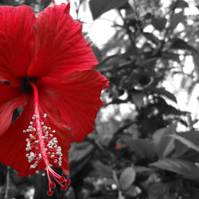 Always Red by Arun Veeramani - Black & White Flowers & Plants ( red, hibiscus, nature, beauty, flower,  )