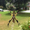 Black-and-yellow argiope, writing spider