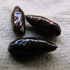 Cutworm pupae