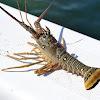 Spiny Lobster?