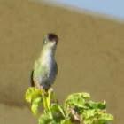 Colibrí Austral