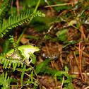 翡翠樹蛙(Emerald tree frog)