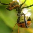 Wheel Bug, nymph