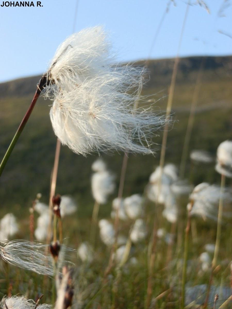 Cottongrass, Tupasvilla