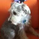 Dog(schnauzer,mini)