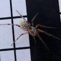 Coneweb spider