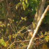 Ringed King Fisher