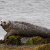 Foca (Common Seal)