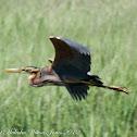 Purple Heron; Garza Imperial