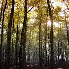 European Beechwoods
