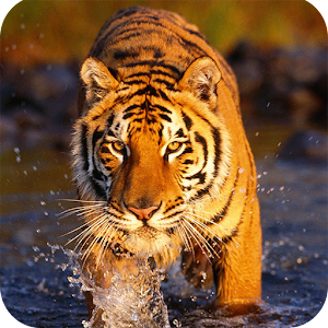 Tiger Wallpaper Android Apps On Google Play