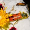 8-Spotted Soldier Beetle; Escarabajo de ocho puntos