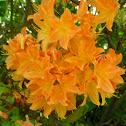 Rhododendron (orange)
