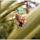 Alpaida Spider.