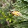 Pyrrhocorid Bug