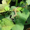 Long-tailed Asian Grass Lizard