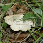 Confused eusarca moth (male)