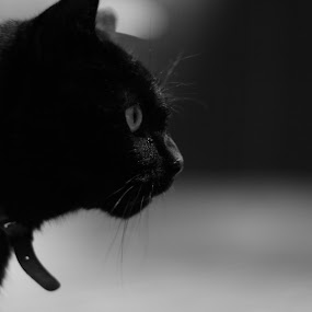 Cat by Tom Hearn - Animals - Cats Portraits ( cat, b&w, black and white, focus, portrait )