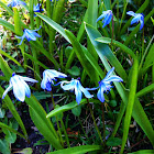 Morris Squill or Pallid Squill
