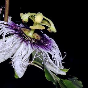 by Afandi Nugroho - Flowers Single Flower