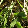 Colubrid Snake - Cobra-verde