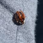 Subvittate Lady Beetle