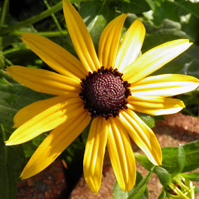 Black eyed susan by Anne Mangen - Flowers Single Flower