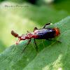 Paddle-shaped antennae beetle