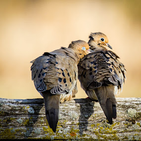 Mourning Doves in love by Brandon Seidl - Animals Birds