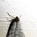 Walnut Spanworm