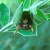 Leaf rolling spider