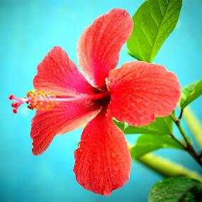 Hibiscus rosa sinensis by Sheeik Mohideen P - Flowers Single Flower ( colorful, flower,  )