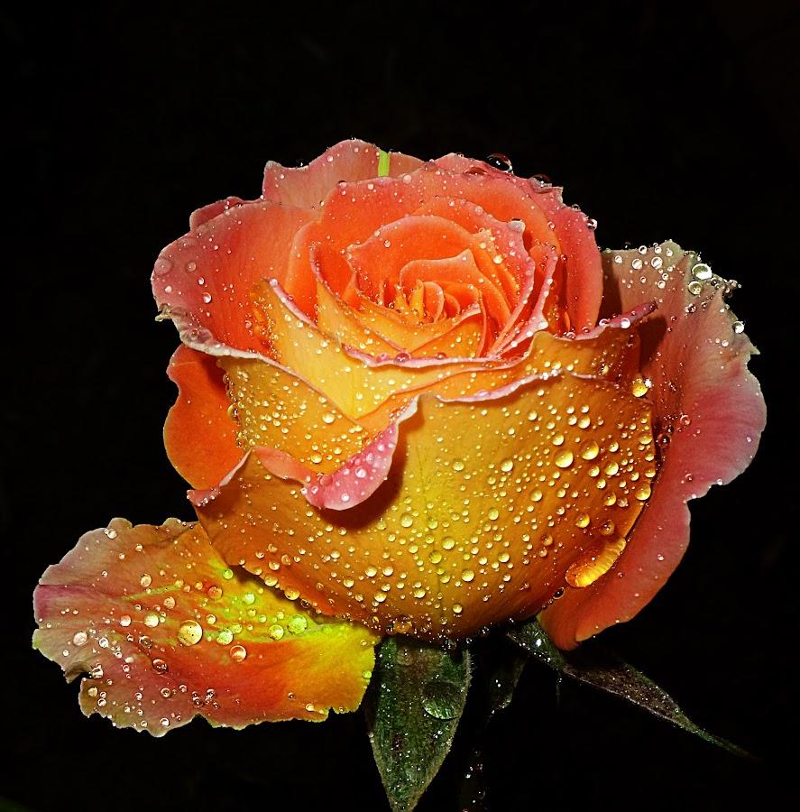 Sunshine Girl by Vanalapha Chuasritrakul - Flowers Single Flower (  )