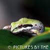 Pacific Chorus Frog or Sierran Treefrog