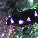 The Great Eggfly
