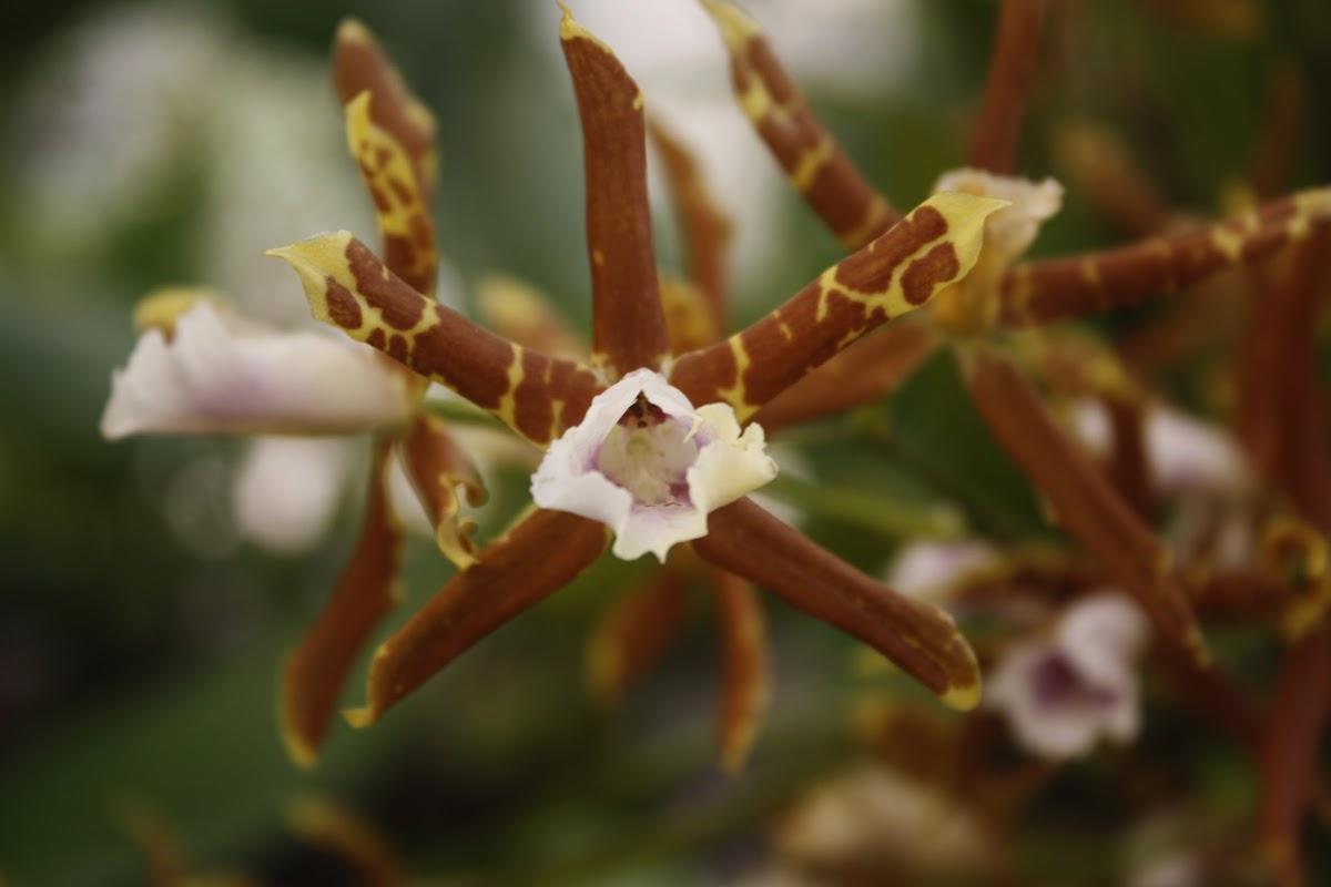 Orquídea / Orchid