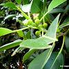 Banyan or Strangler Fig