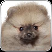 Pomeranian+