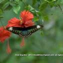 Rajah Brooke Birdwing (F)