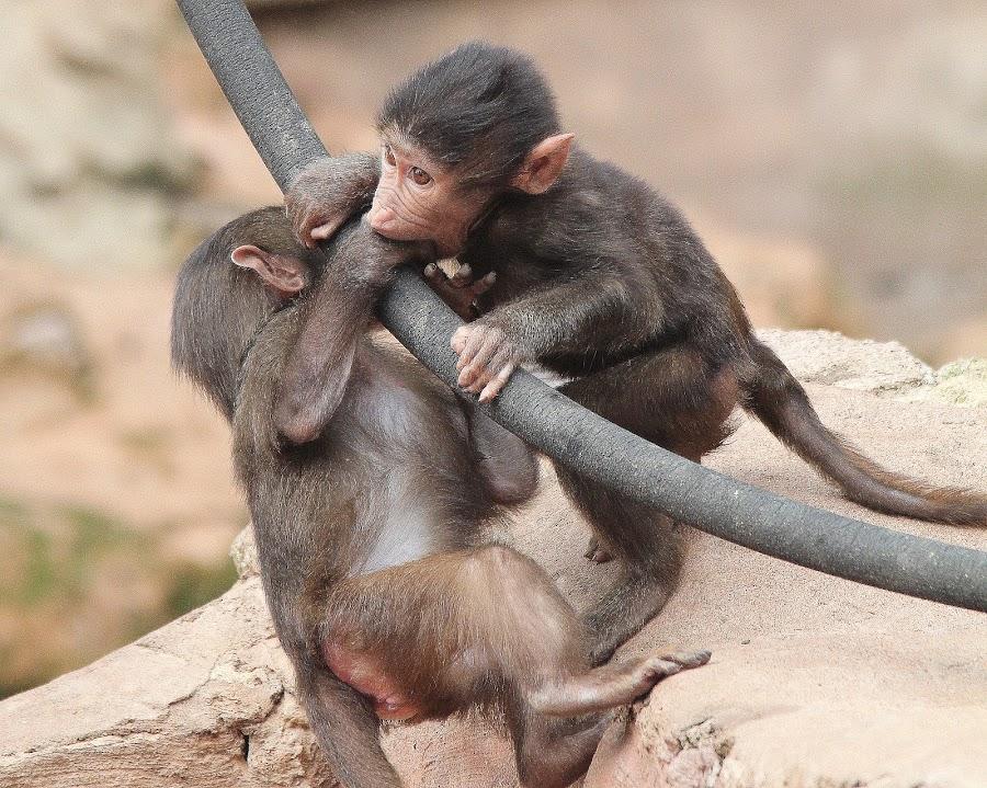 Baboon by Ralph Harvey - Animals Other Mammals ( paignton zoo, animals, baboon, wildlife, ralph harvey )