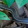 Common Road Guardner Snake