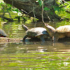 Red-eared Sliders and Common Snapping Turtle