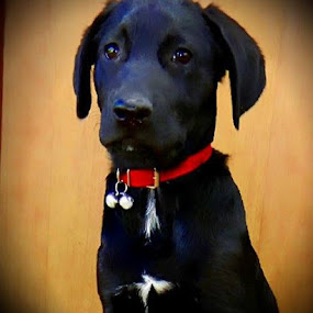 I have an angel on my chest  by Nat Bolfan-Stosic - Animals - Dogs Portraits ( angel, chest, dog, labrador, young,  )