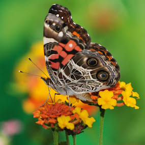 Butterfly by Mark Luftig - Animals Insects & Spiders ( lanatana, butterfly, miss huff, animal, butterfy,  )