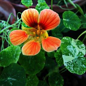 lovely Nastracium by Lalaji Anwar - Flowers Flower Gardens