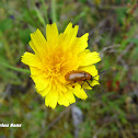 Daffodil Leaf Beetle